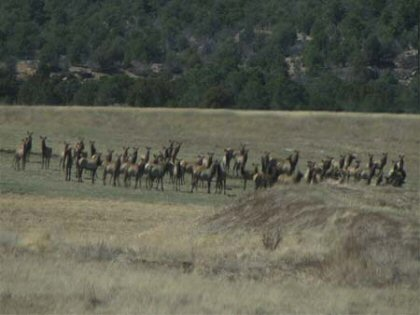 The spring gathering of elk at the Thal Ranch